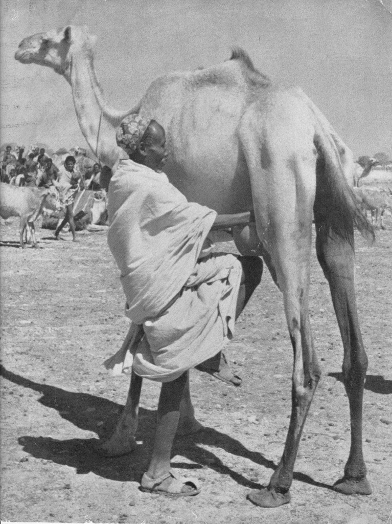 Somali nomad milking his camel